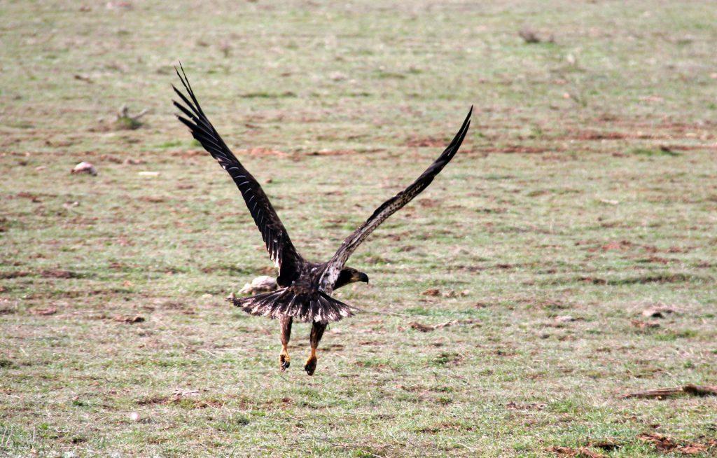 Bald Eagles And Golden Eagles In Zion Zion Ponderosa