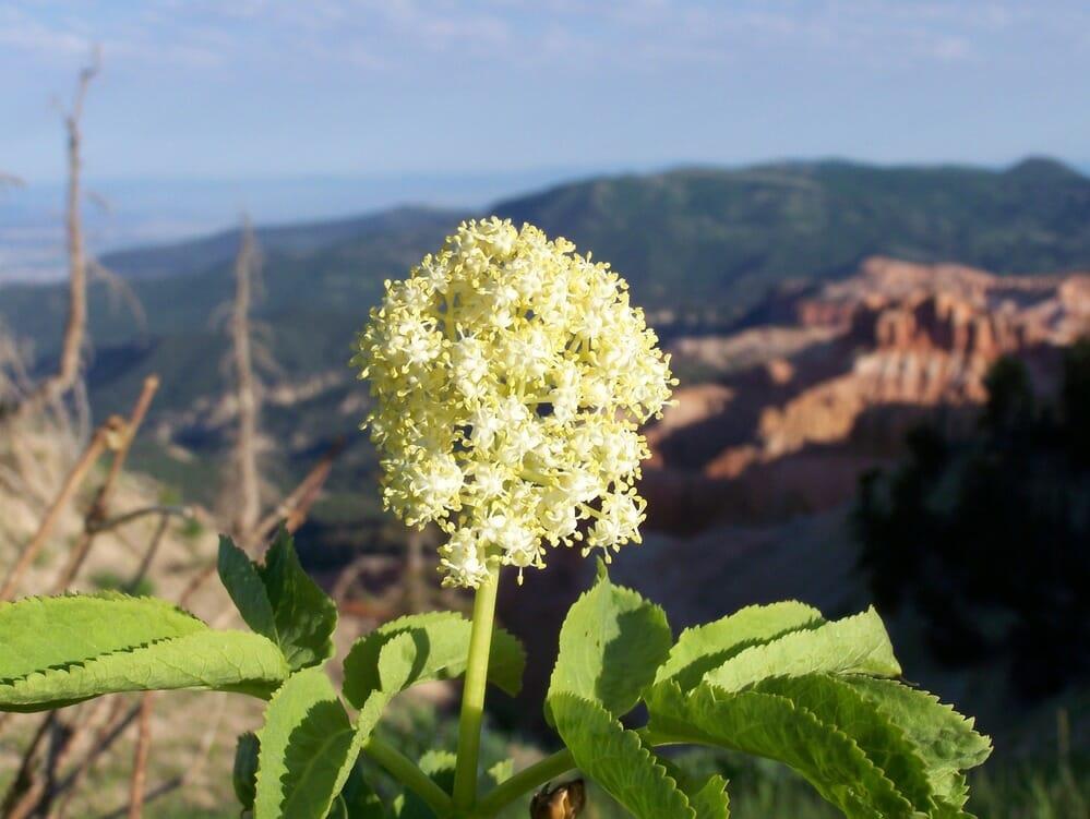 NPS Photo Cedar Breaks Wildflowers
